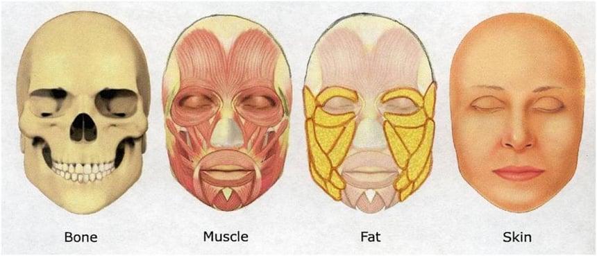 Facial Structure Graphic   Kenzai